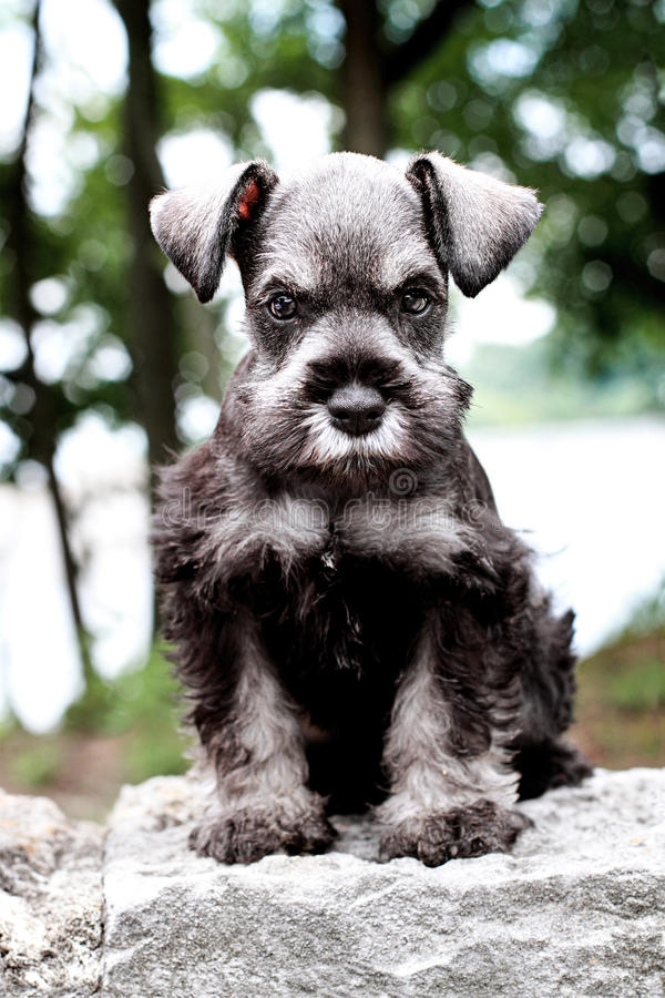 Mini Schnauzer. Six week old salt and pepper Mini Schnauzer sitting outside. Extreme shallow depth of field with selective focus on puppies face royalty free stock photography