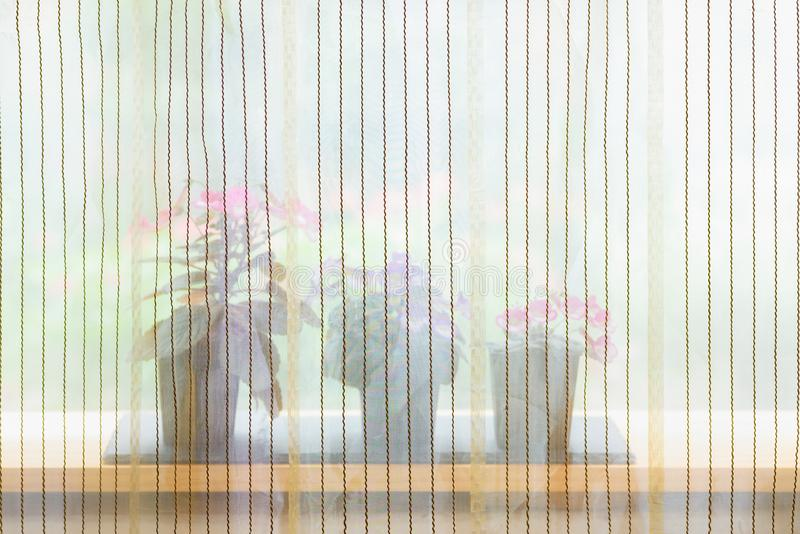 Small potted flowers blooming near window behind curtain stock image