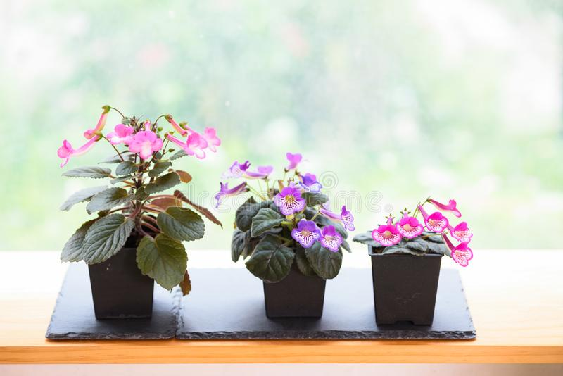 Small potted flowers blooming near window in house stock photography