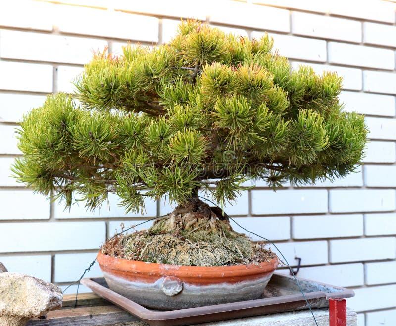 Mini sosnowy bonsai drzewo obrazy stock