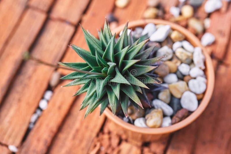 Mini- suckulenta växter i den bruna cray krukan closeup fotografering för bildbyråer