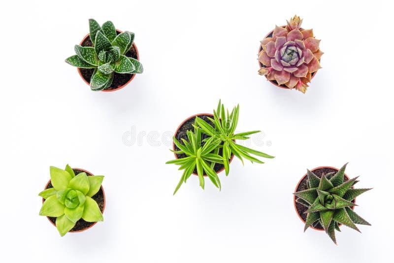 Mini- suckulenta växter som isoleras på vit bakgrund arkivfoton