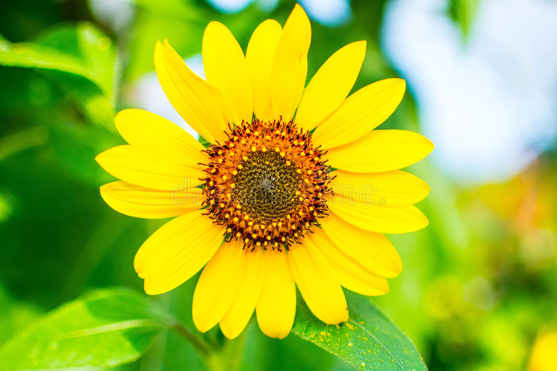 Mini sun flower stock photo