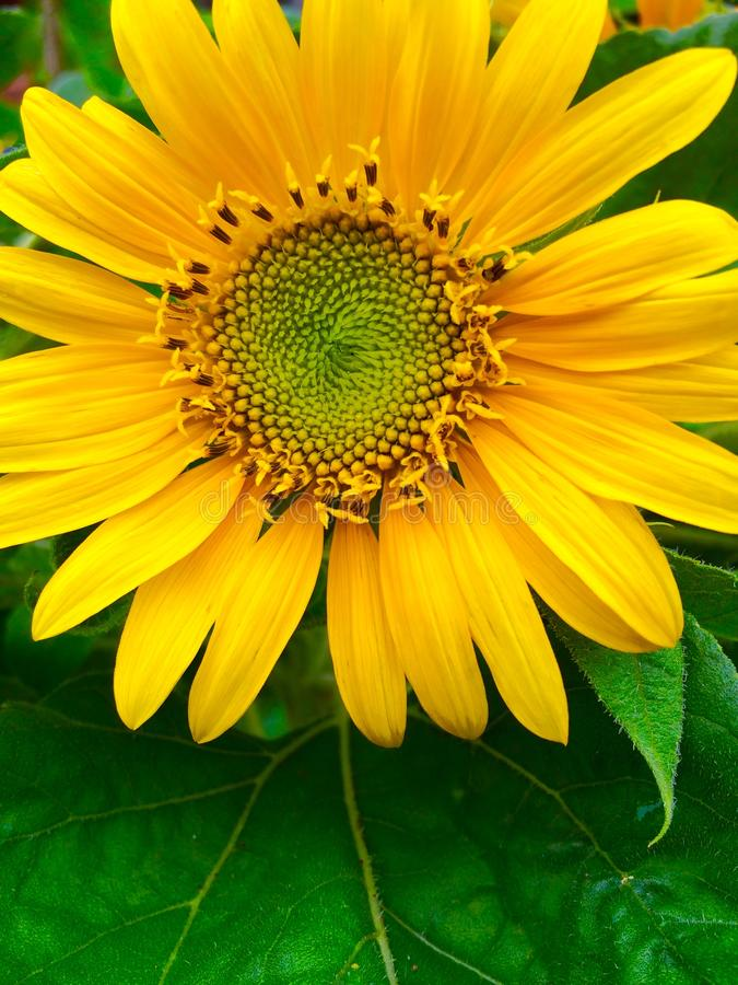 Mini Sunflower photo stock