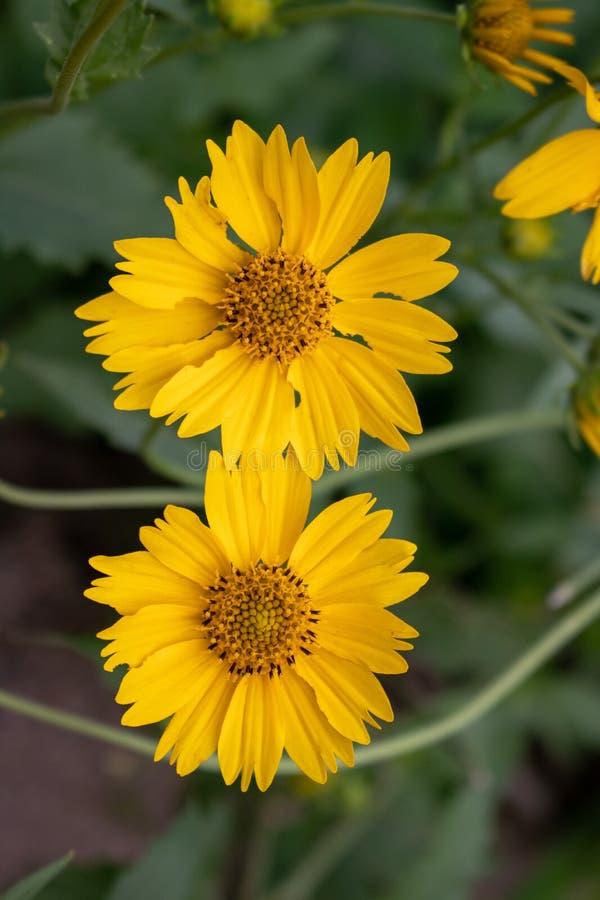 Mini Sunflower Twins salvaje fotos de archivo