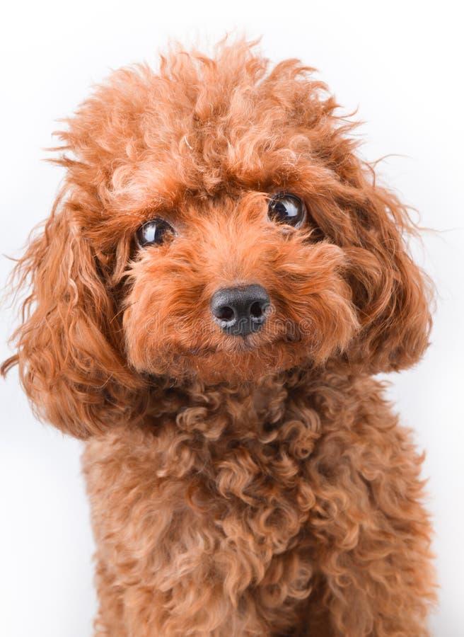 Mini Toy Poodle fotografie stock