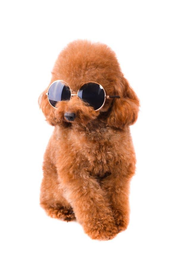 Mini Toy Poodle com pele dourada de Brown fotografia de stock royalty free