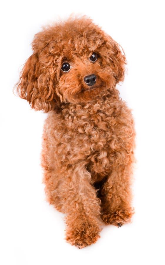 Mini Toy Poodle con la pelliccia dorata di Brown su un fondo bianco immagini stock libere da diritti