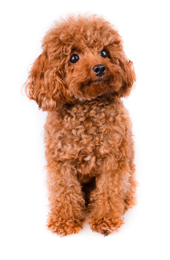 Mini Toy Poodle with Golden Brown Fur on a white background stock photos