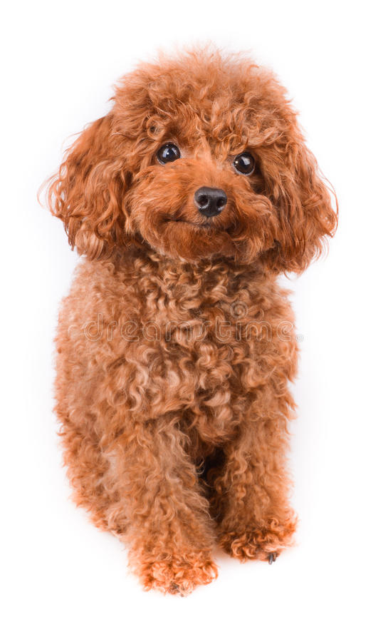 mini toy poodle with golden brown fur on a white
