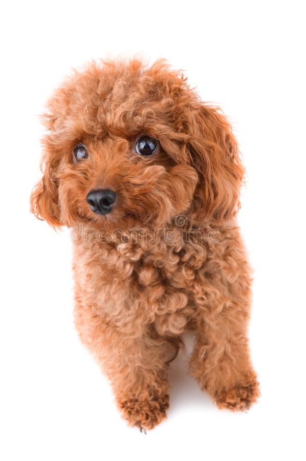 Mini Toy Poodle. On a white background royalty free stock photography