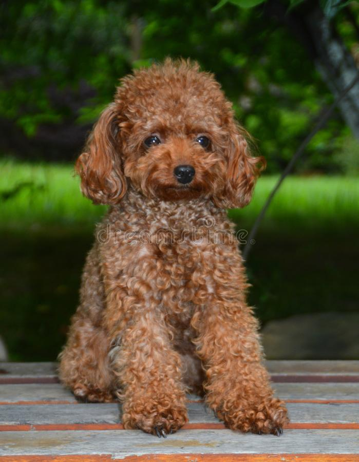 Mini Toy Poodle. Sitting on a bench royalty free stock photography