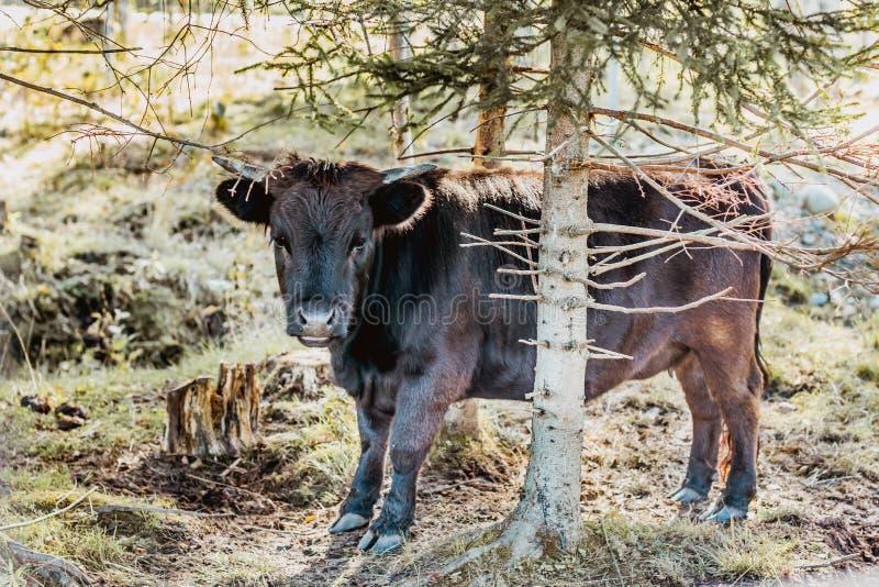 Mini vaca Dexter detrás del árbol, naturaleza que sorprende fotografía de archivo