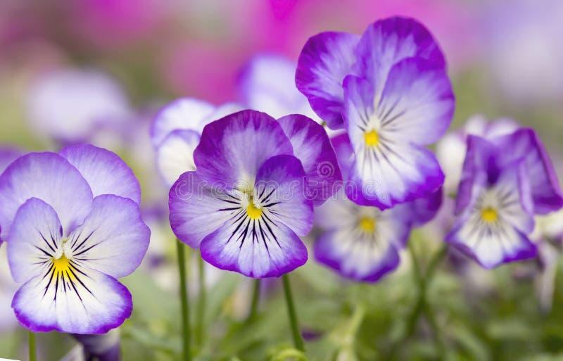 Mini violet flower stock image