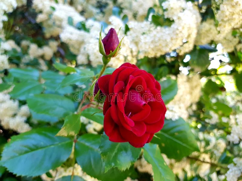 Mini witte bloemen royalty-vrije stock fotografie