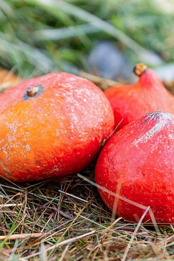 Miniabóbora de laranja de legumes de palha de corrida de espartaria outono fotos de stock