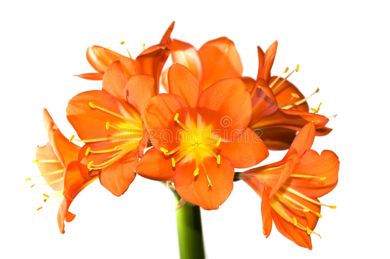 miniata clivia στοκ εικόνες