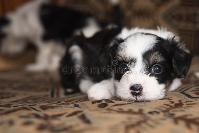 A miniatura do cachorrinho encontra-se na cama, cão pequeno engraçado, olhando in camera fotos de stock