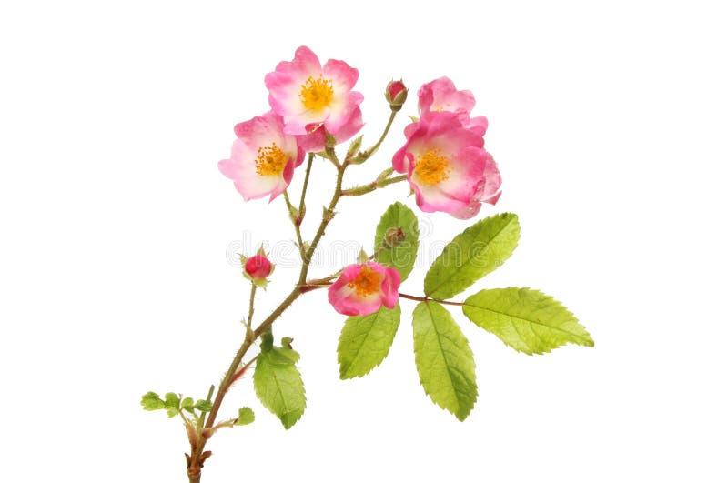 Miniatura wzrastał kwiaty zdjęcie stock
