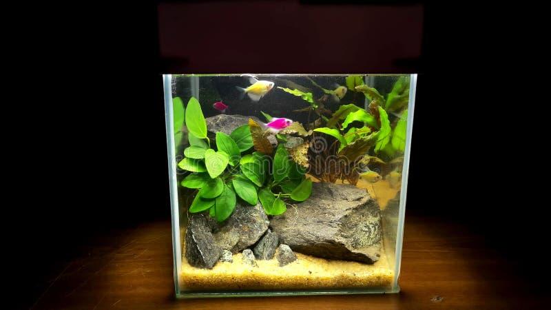 Miniaturaquarium mit Fischen und natürlicher Dekor, Steine und Anlagen stockbild