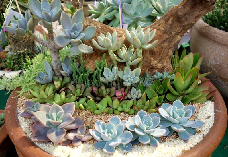Miniaturbonsai-saftige Garten-Anordnung stockfotografie