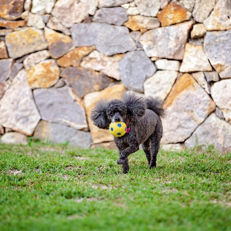 Miniature Black Poodle Pet Dog With Ball. A miniature black poodle dog playing with a ball in its own grassy backyard stock photo