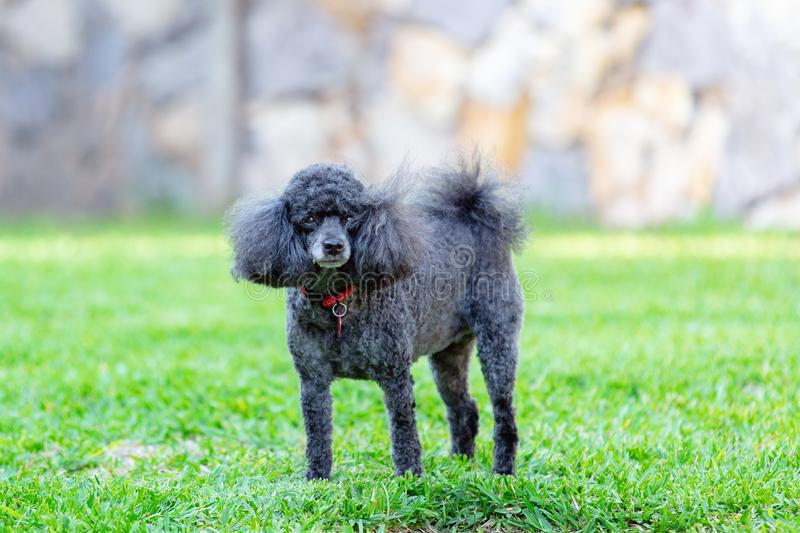 Miniature Black Poodle Pet Dog. A pet miniature black poodle with some grey fur, standing in its own backyard royalty free stock photos