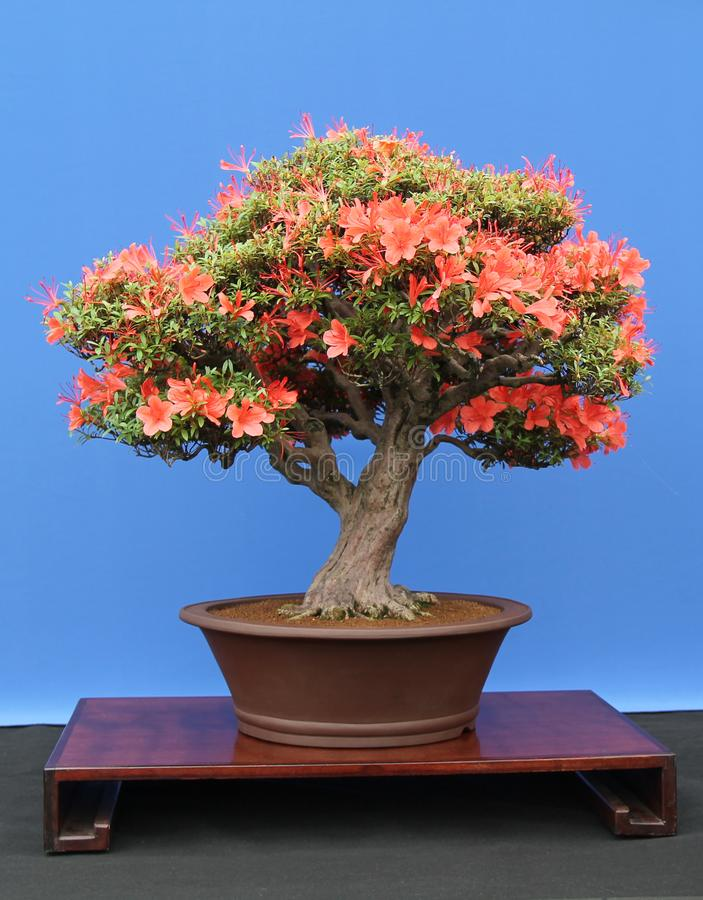 Miniature Bonsai Tree. royalty free stock image
