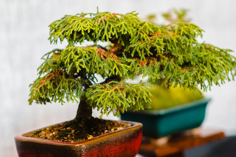 Miniature bonsai tree on display in Grand Rapids Michigan royalty free stock photo