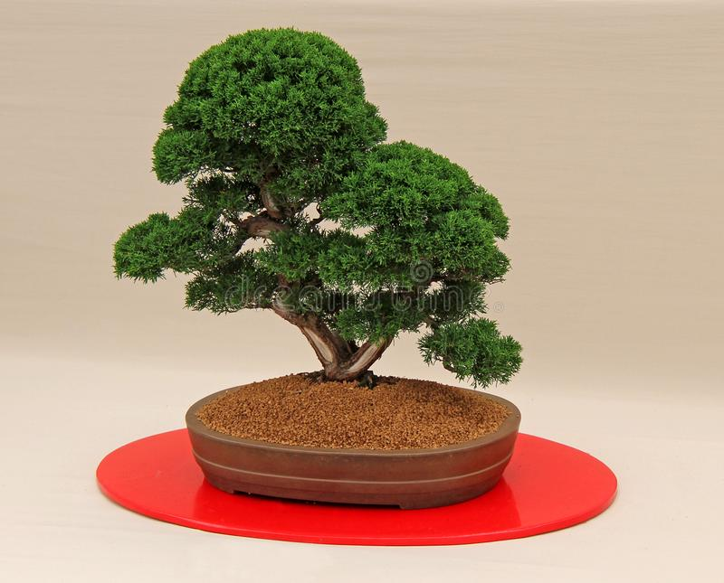 Miniature Bonsai Tree. royalty free stock photo