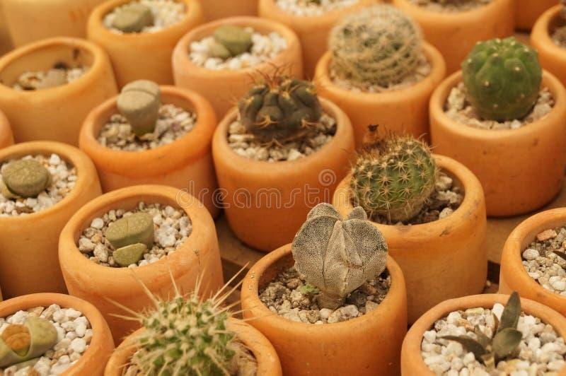 Miniature cactai garden royalty free stock photo