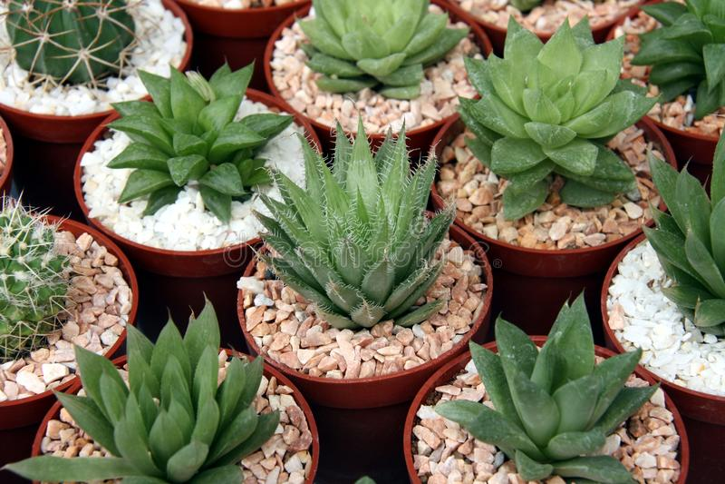 Download Miniature cacti stock image. Image of botany, plant, natural - 11314077