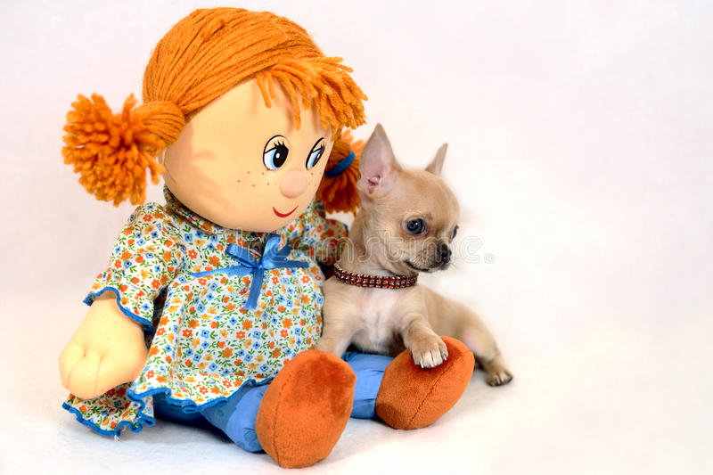 Miniature Chihuahua Puppy with Big Soft Toy Doll royalty free stock photo