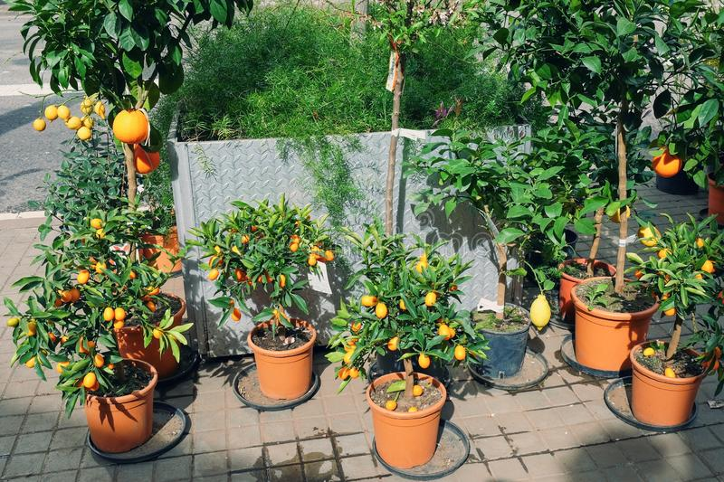 Miniature citrus trees with fruits in pots for sale in the garden shop royalty free stock image