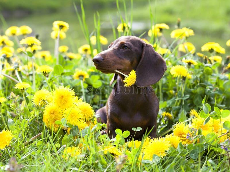 miniature dachshund and dandelions stock photo