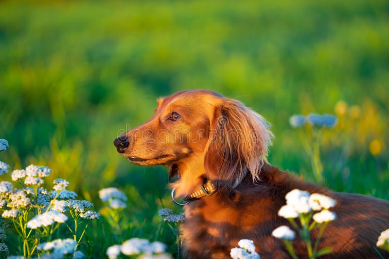 Miniature Dachshund in the park. Long haired Miniature Dachshund is looking far away and sits in the field surrounded by flowers at the country park stock image