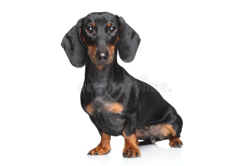 Miniature dachshund royalty free stock photography