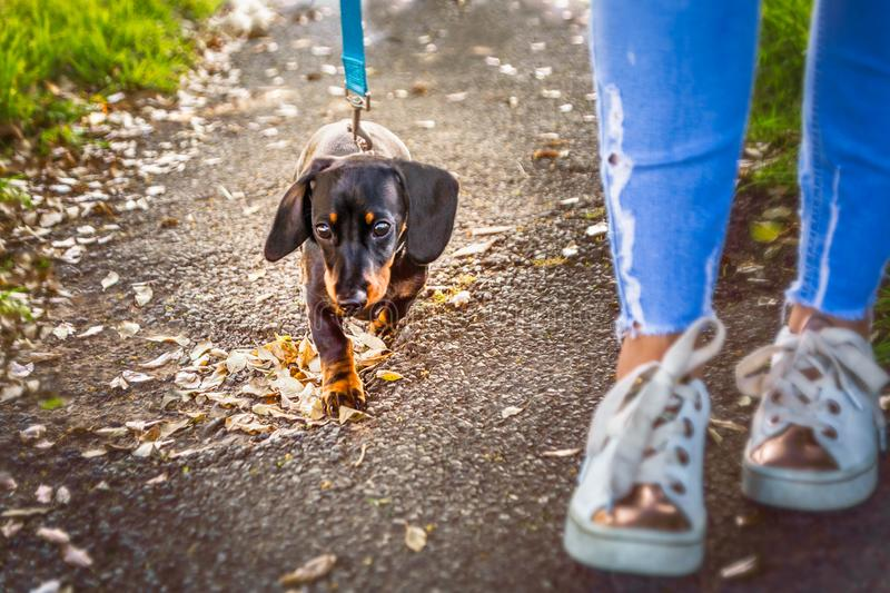 Miniature Dachshund puppy dog with a short haired black and tan fur walking on a blue lead next to a lady in skinny blue jeans stock photography