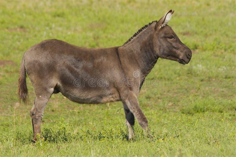Miniature Donkey stock image