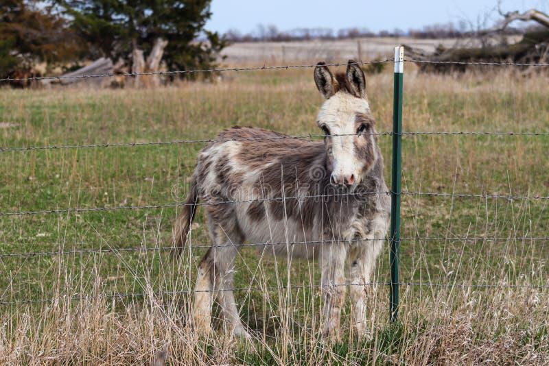 Miniature Donkeys Stock Photo Image Of Animals Pasture