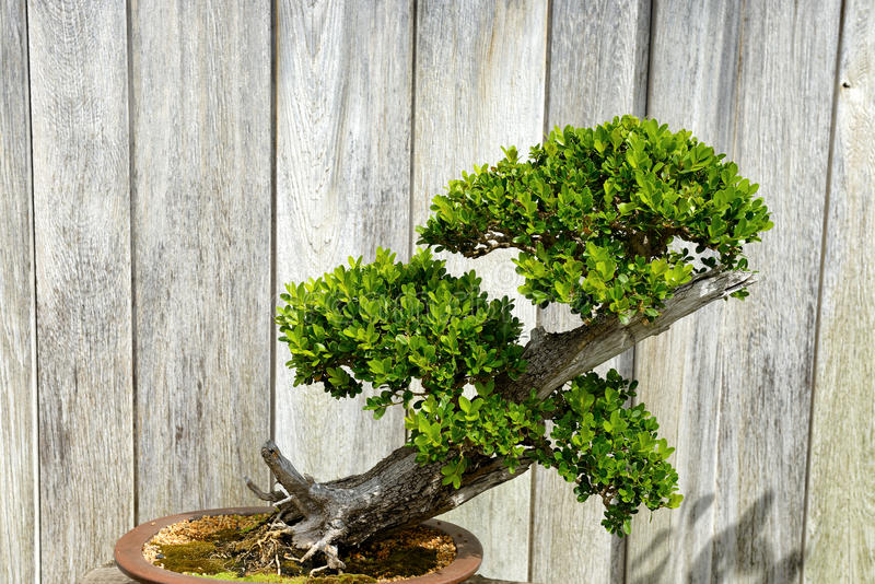 Miniature evergreen japanese bonsai tree stock images