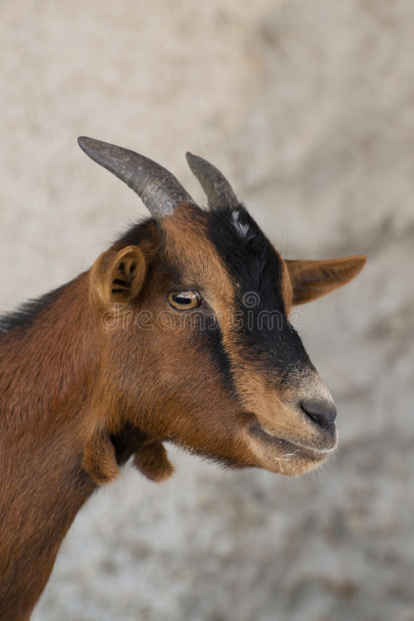 Miniature Goat. S affectionate friendly easy to train stock photography