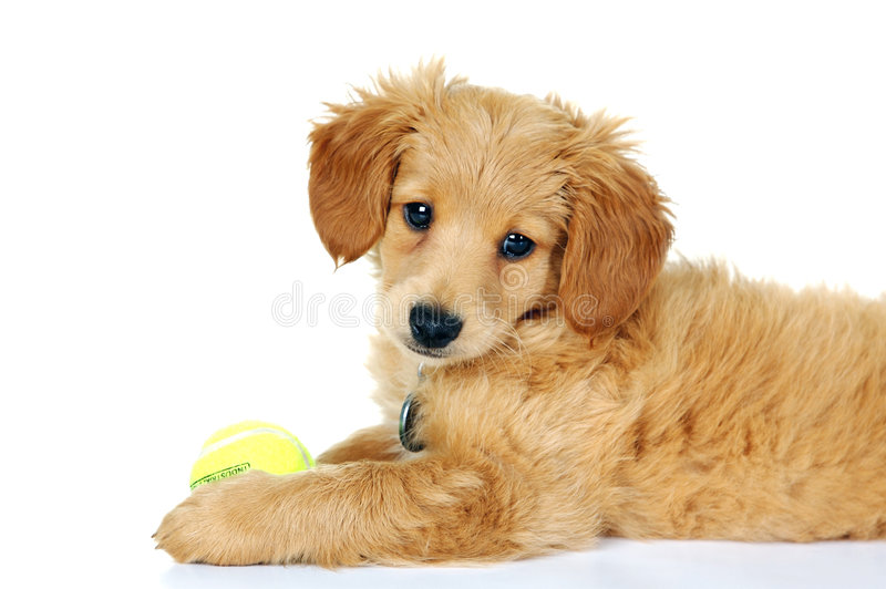 Miniature Golden Doodle Puppy royalty free stock image
