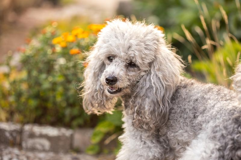 A miniature gray poodle toy standing in the garden on a sunny summers day. A miniature gray poodle toy standing in the garden stock images
