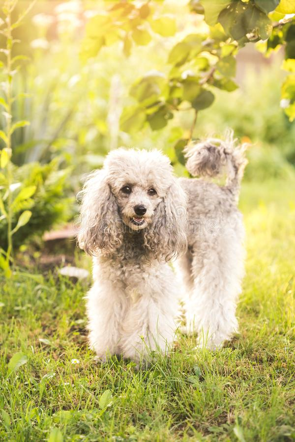 A miniature gray poodle toy standing on a green lawn on a sunny summers day. A miniature gray poodle toy standing on a green lawn royalty free stock images