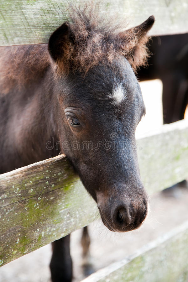 Download Miniature Horse Filly Or Colt Stock Photo - Image: 11064870