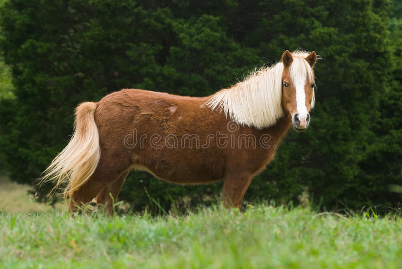 Miniature horse in meadow royalty free stock images
