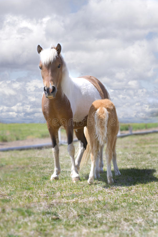 Download Miniature Horse And Nursing Foal Stock Photo - Image: 9463670