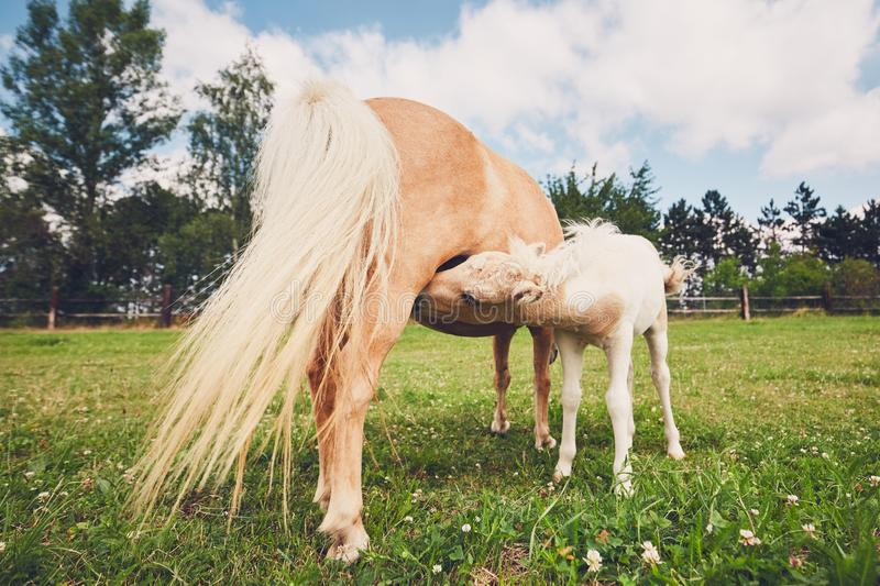 Miniature horse on the pasture. Breastfeeding of the newborn horse. Mare with foal of the miniature horse on the pasture royalty free stock image