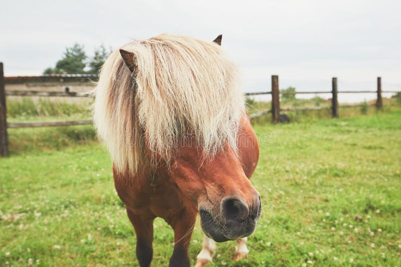 Miniature horse on the pasture. Horse with long mane. Portrait of the miniature horse on the pasture royalty free stock photo